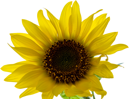 picture transparent stock Yellowaesthetic tumblr flower tumblrflower. Sunflowers clipart aesthetic.