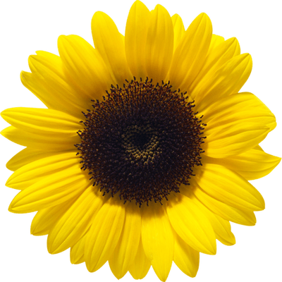 svg freeuse library Sunflower close up pinterest. Sunflowers clipart colorful.