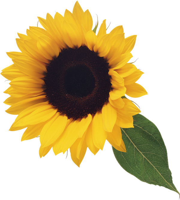 graphic download With leaf gallery yopriceville. Clipart sunflower