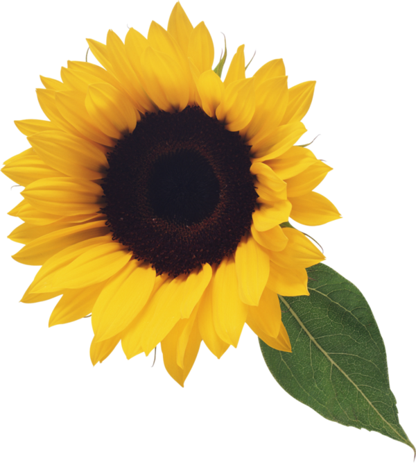 image free download Sunflowers clipart swag. Tournesol flowers pinterest magnolia.