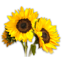 jpg free stock Download sunflower free png. Sunflowers clipart swag.