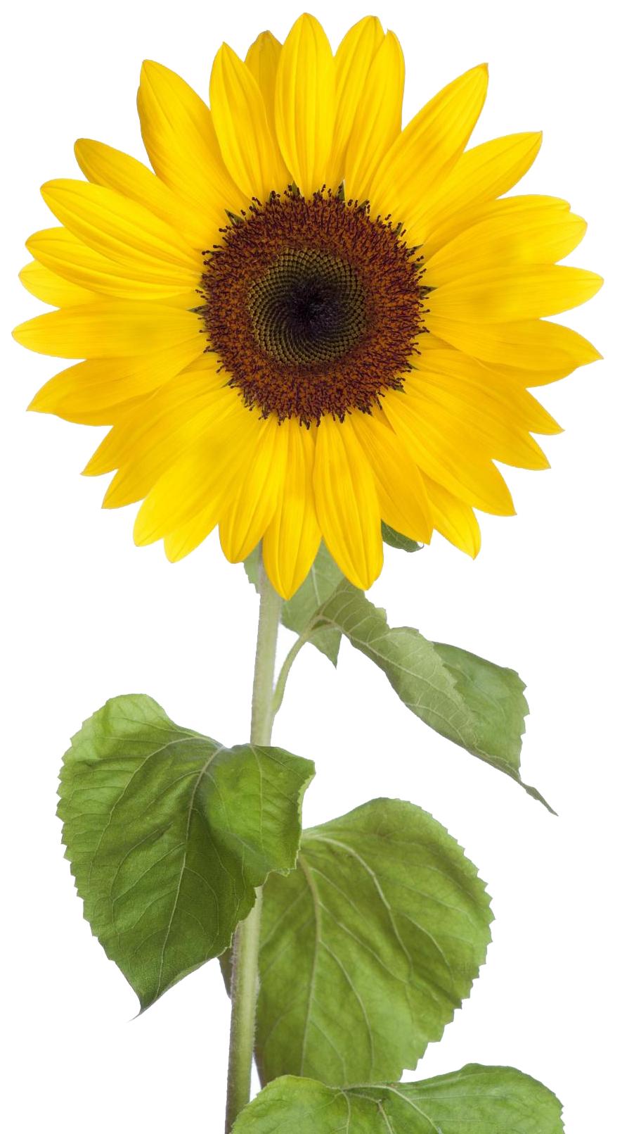 clipart transparent Sunflower png images free. Sunflowers clipart transparent background