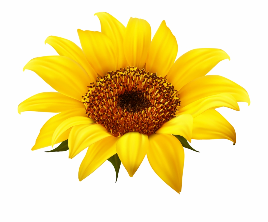 graphic freeuse library Image royalty free stock. Sunflowers clipart transparent background