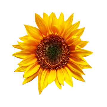 clipart black and white stock Sunflowers clipart transparent background. Sunflower png images download