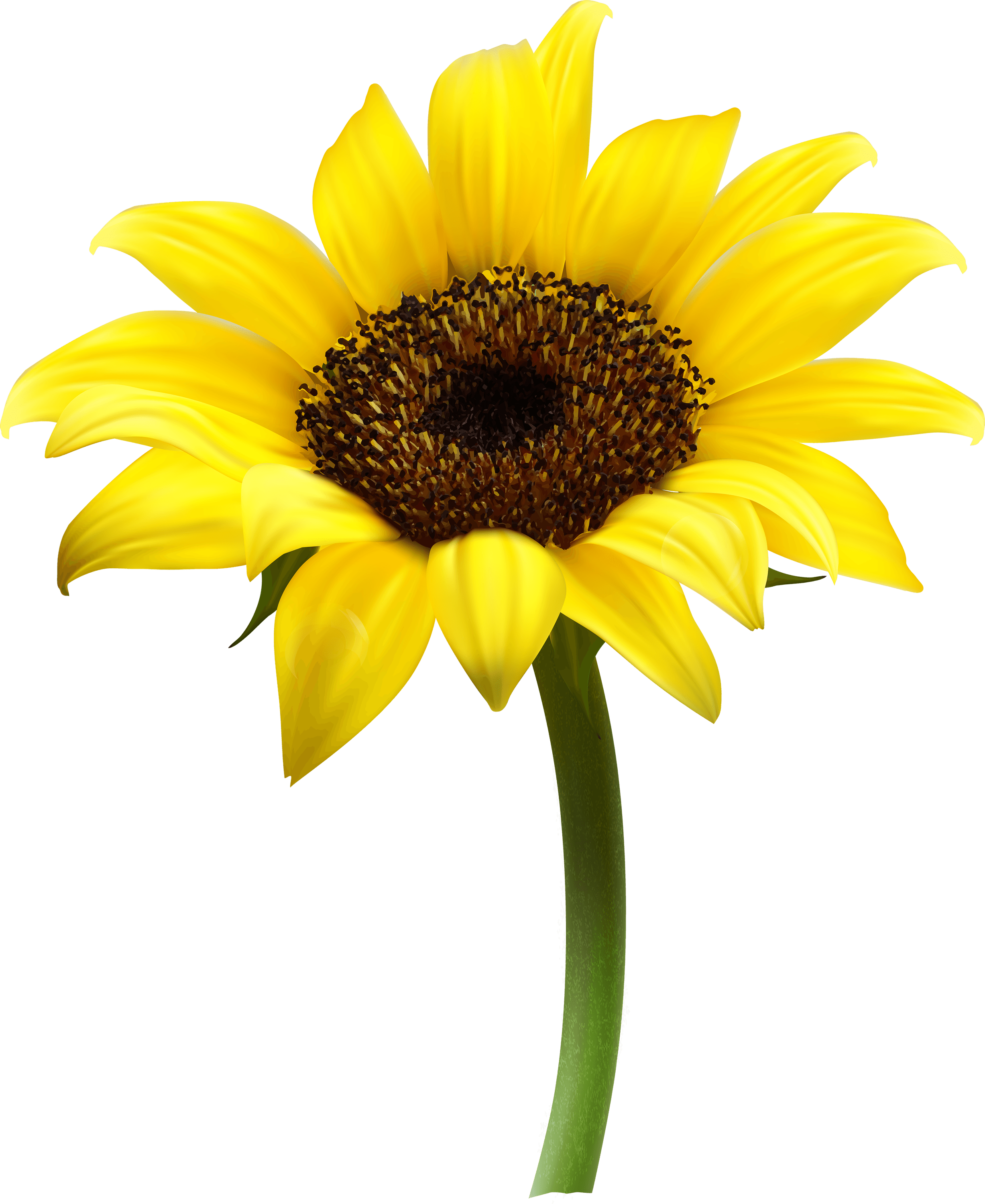 download Sunflowers clipart transparent background. Sunflower single png stickpng