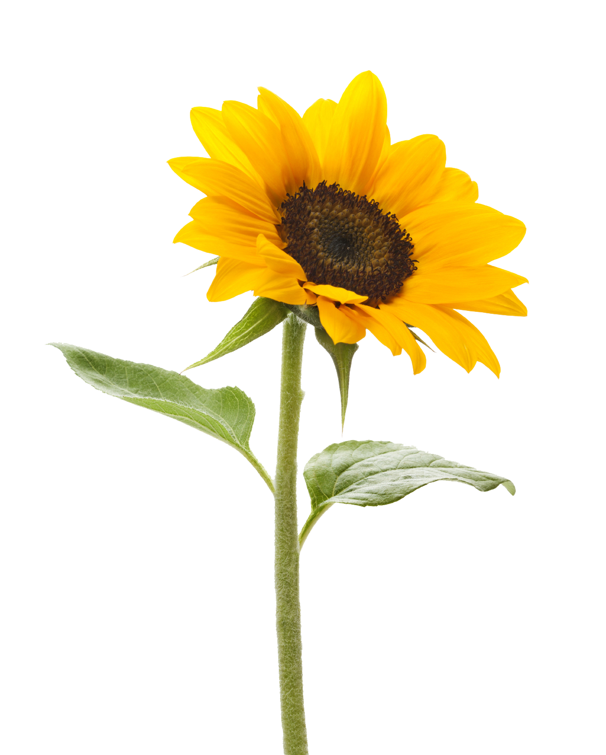 royalty free Sunflowers clipart transparent background. Sunflower png images free