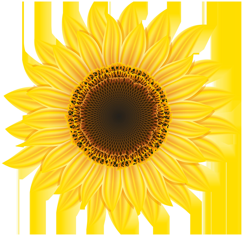 banner transparent stock Sunflower png . Sunflowers clipart transparent background