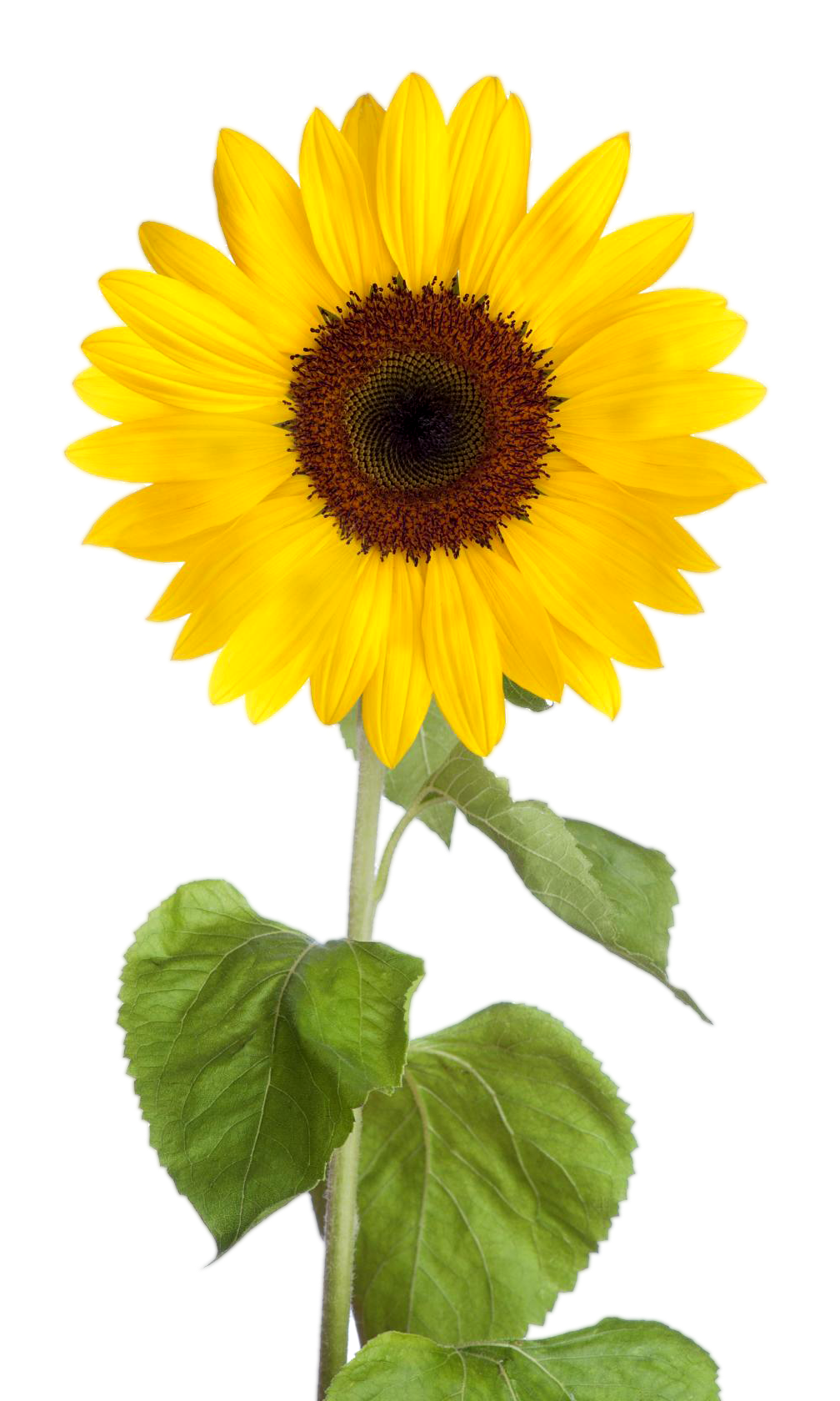 picture royalty free stock Sunflower Clipart png images with transparent background