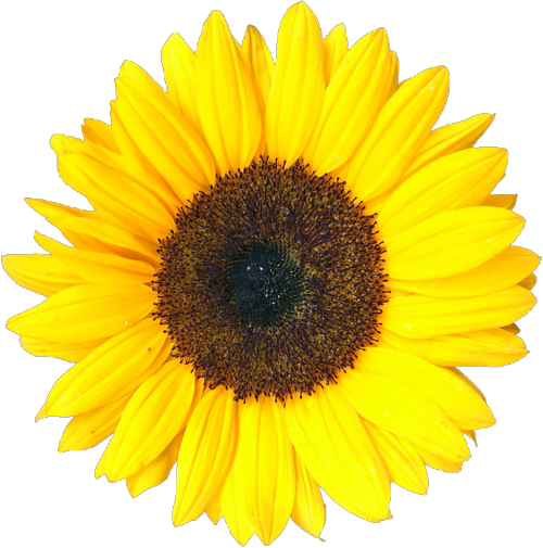 svg black and white stock transparent sunflower