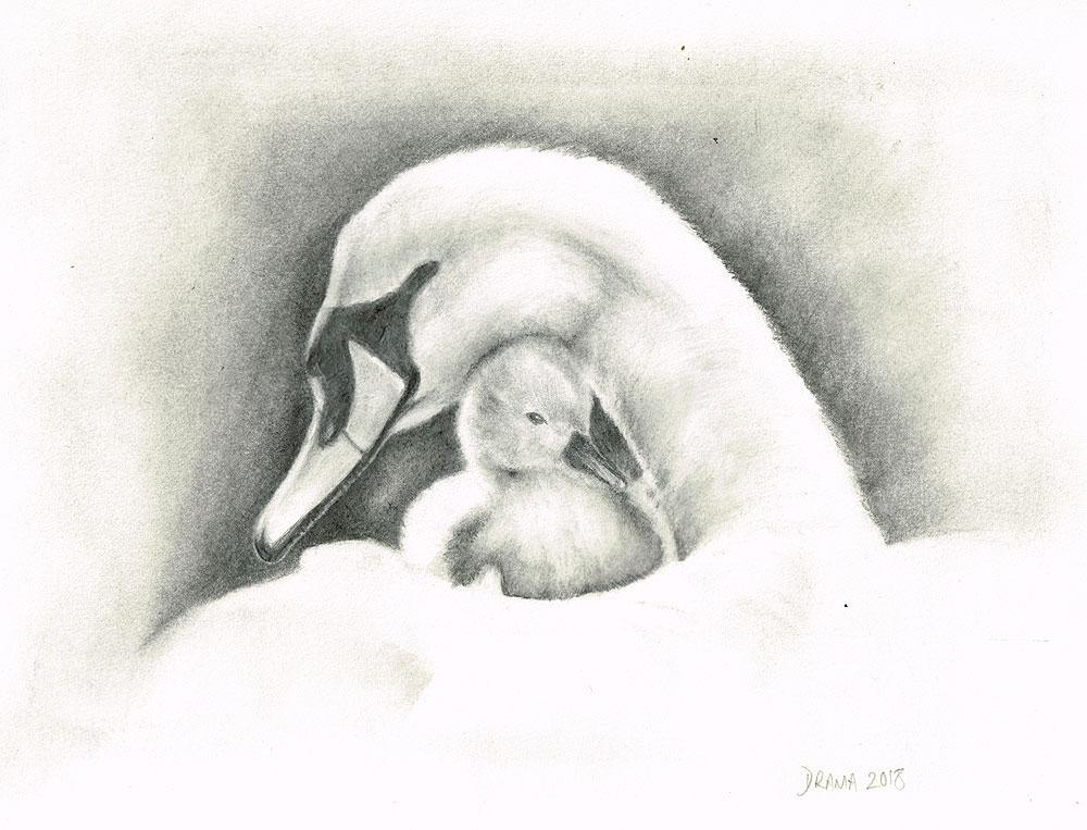 graphic Swan cygnet graphite pencil. Swans drawing cygne