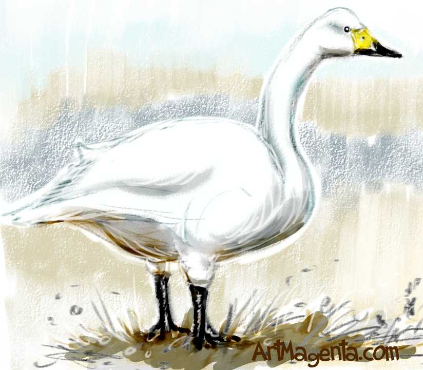 picture library download Swans drawing tundra swan. Birds