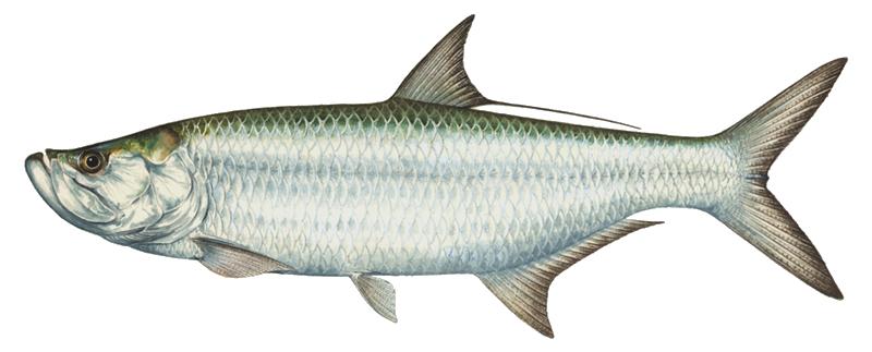 vector free tarpon drawing fish #104555153