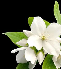 image freeuse download tea transparent jasmine #104584177