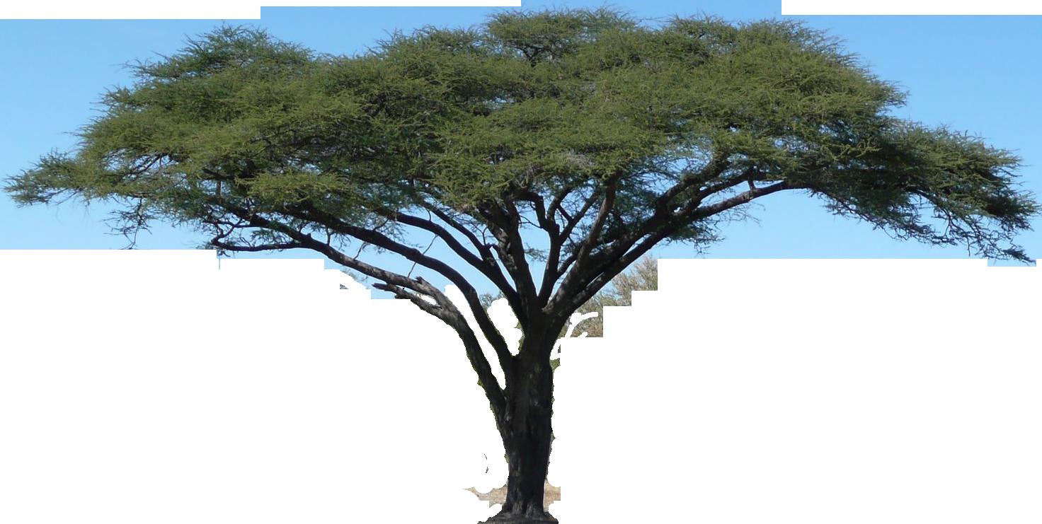 png library library Acacia Tree Vector