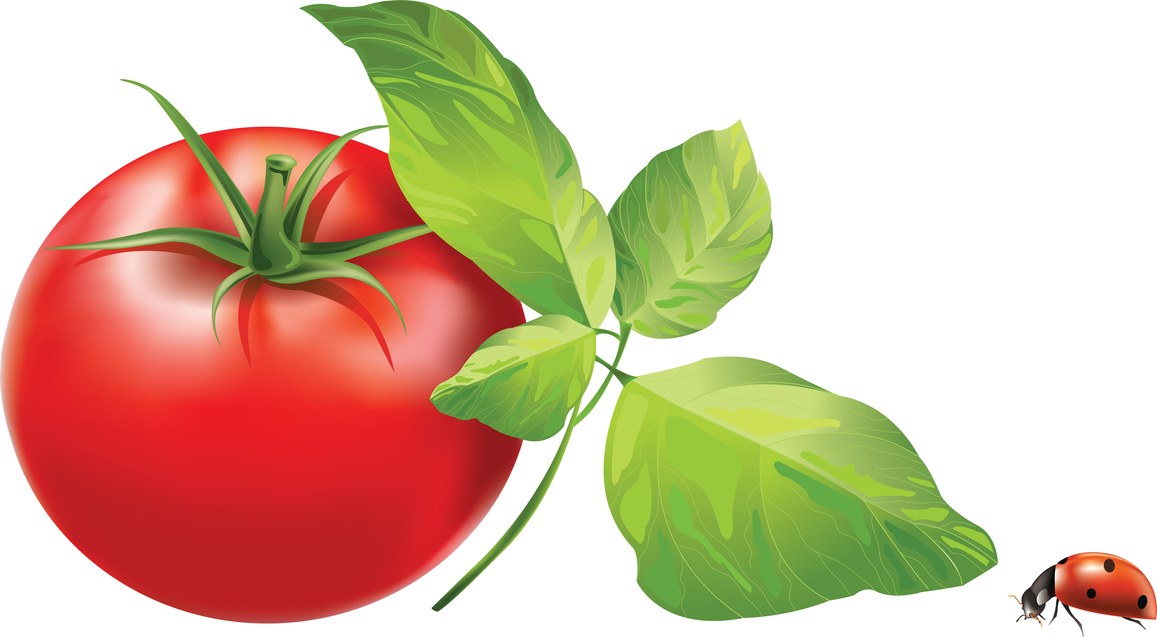 clipart royalty free Tomatoes clipart kamatis. Panda free images tomatoclipart