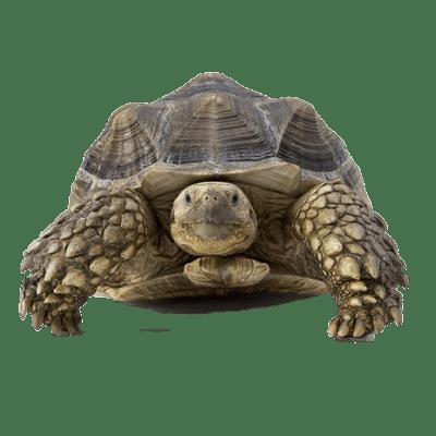 transparent Tortoise clipart. Prehistoric transparent png stickpng