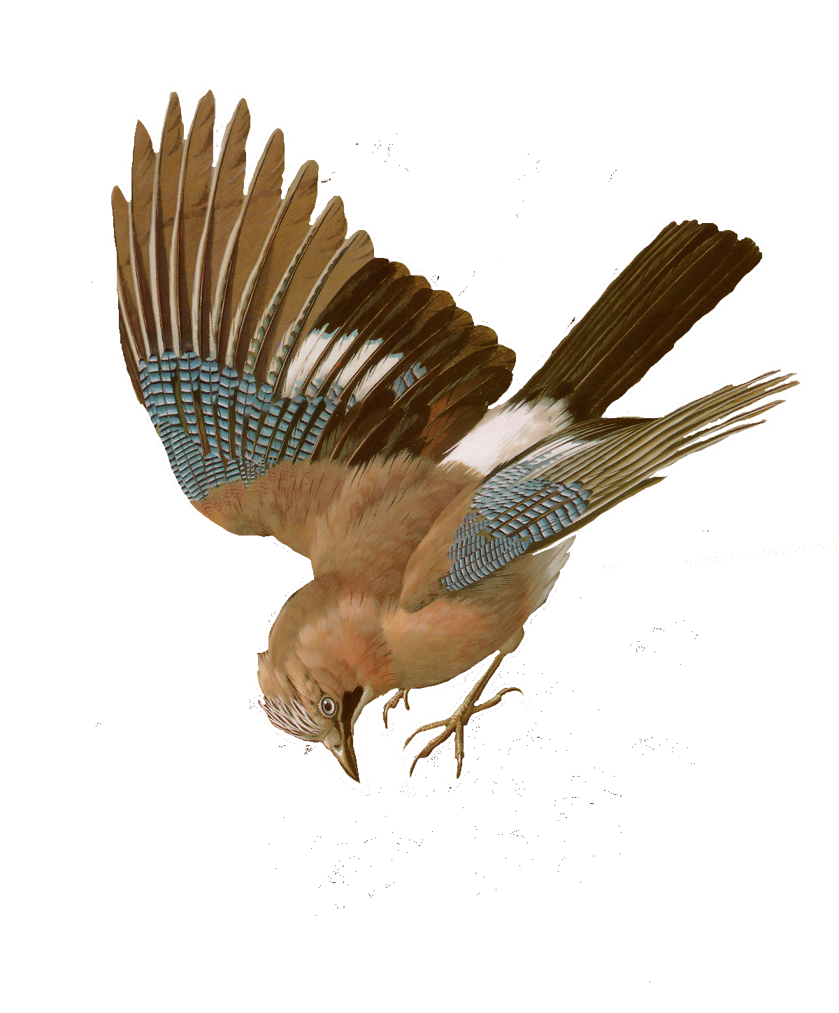png library stock Free Bird Images and Paintings