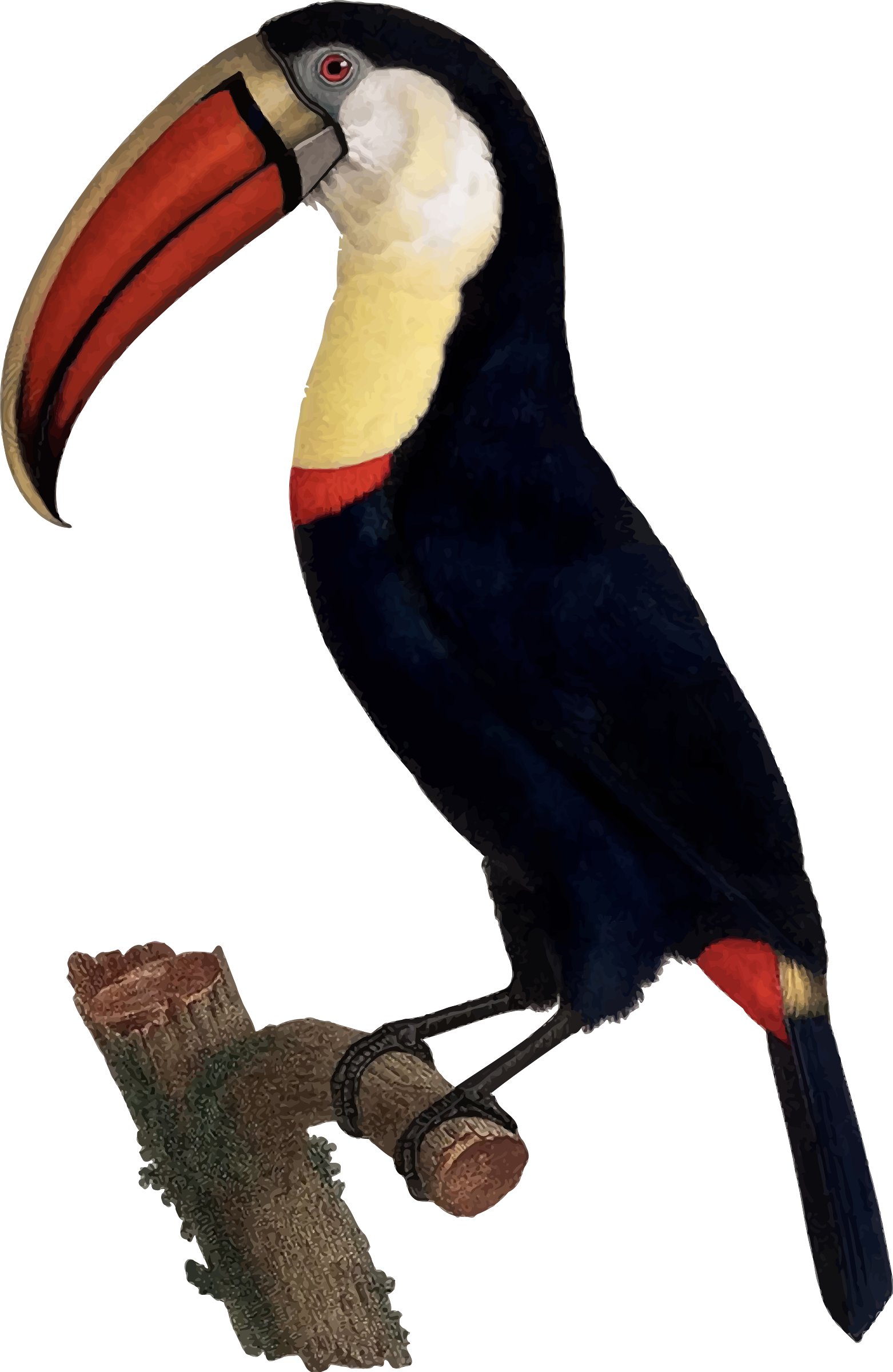 graphic royalty free Toucan vector. Clipart big image png