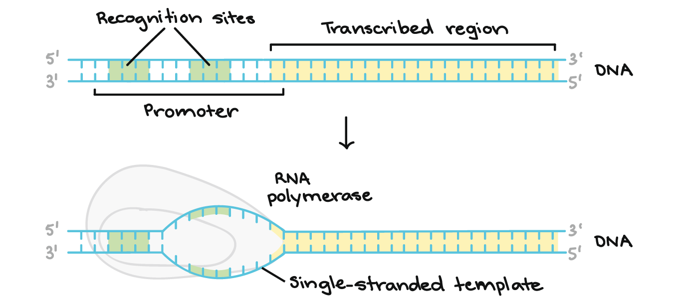 graphic freeuse Stages of transcription