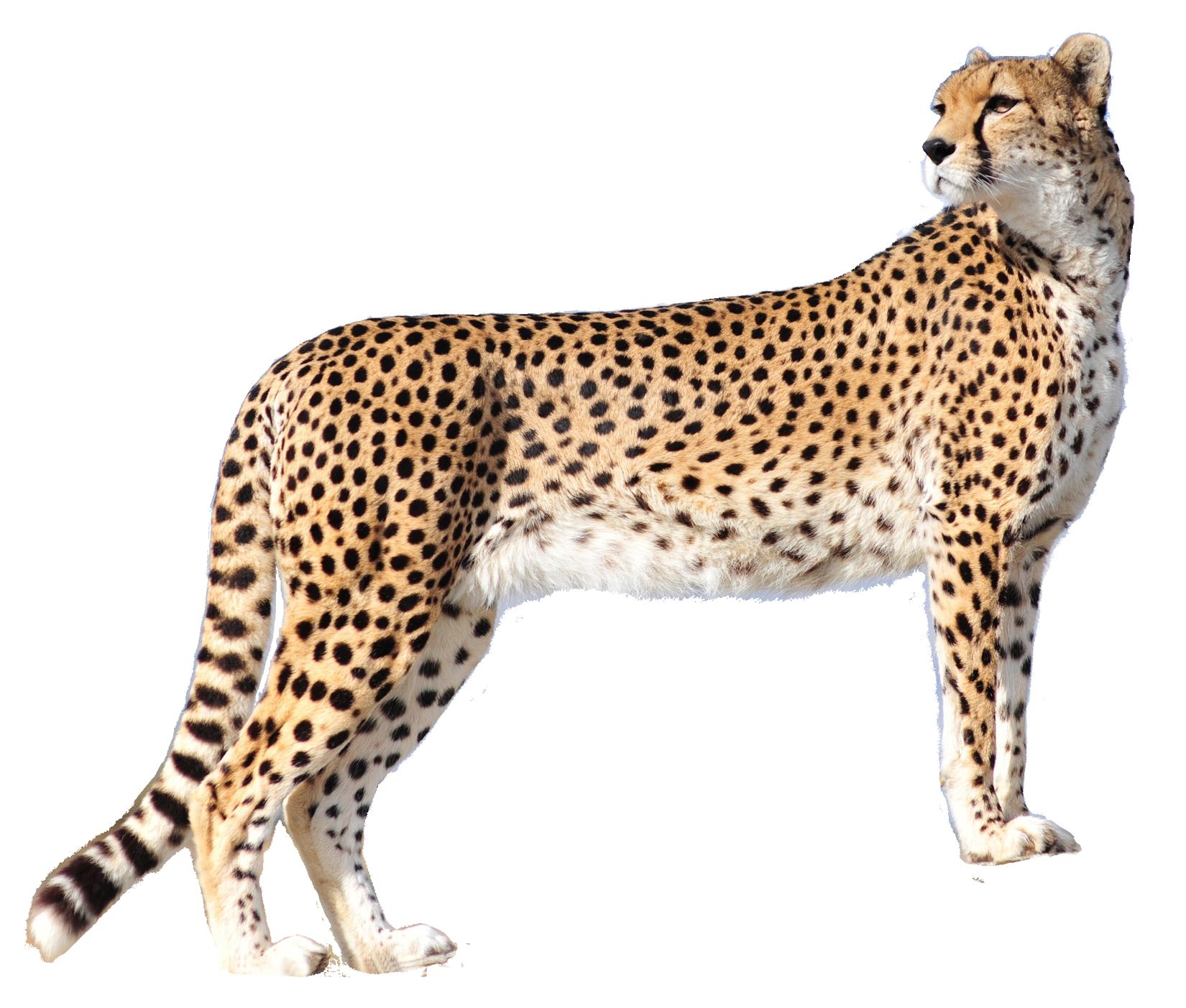 vector freeuse library Cheetah PNG Image