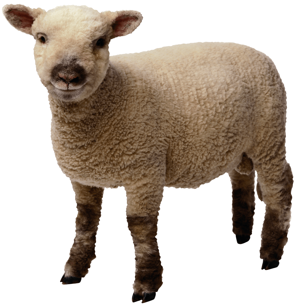 clipart library library Baby Sheep Standing transparent PNG
