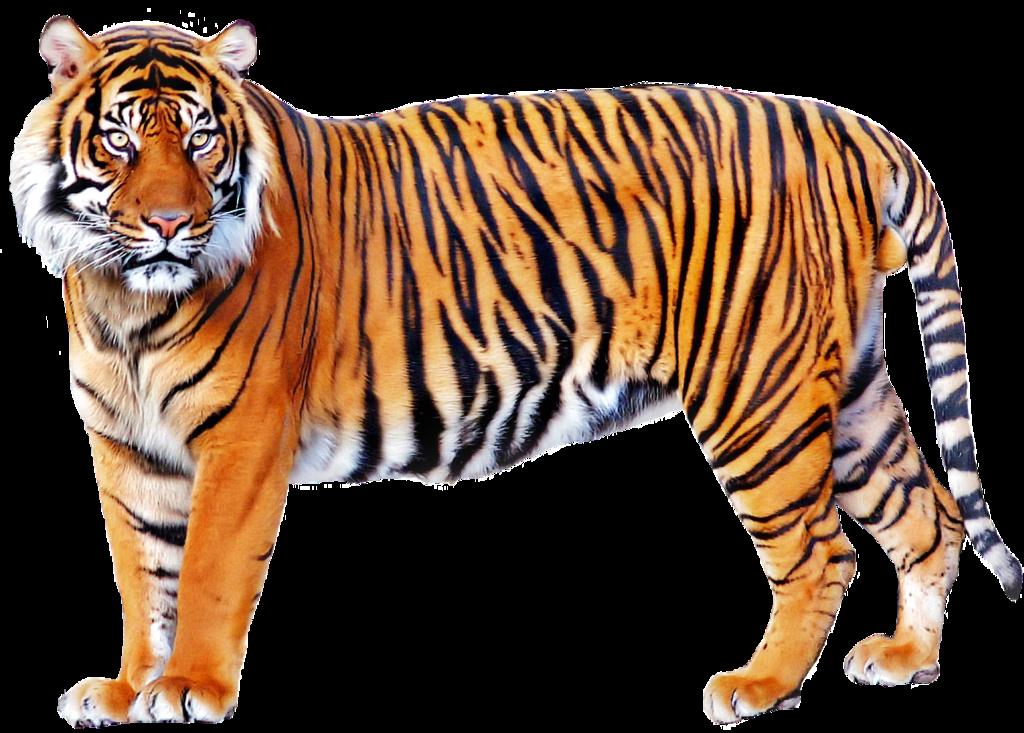 svg transparent Transparent tiger orange. Png image