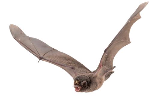 vector black and white stock Tumblr jessicamaccormackrmack. Transparent bat