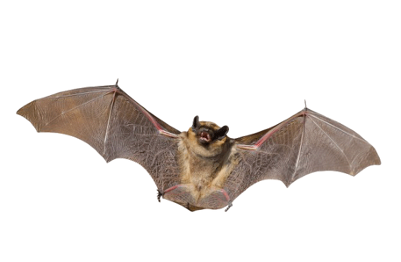 png royalty free Www davesjungle com. Vampire transparent bat