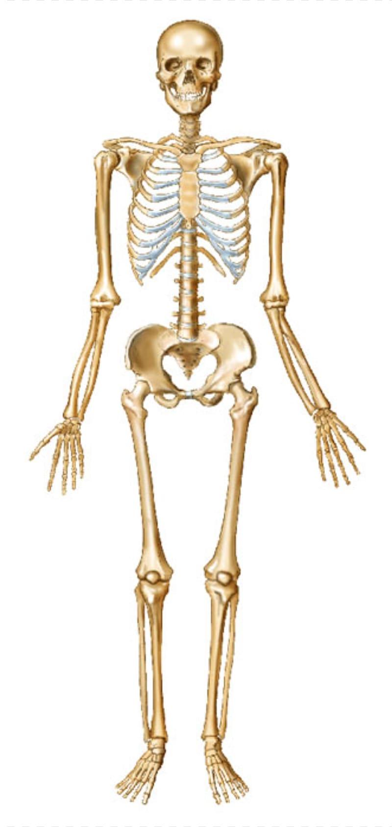 svg free stock Bone transparent skeleton. Human body joint