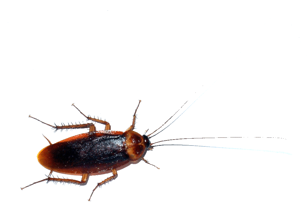 royalty free Cockroaches vs Waterbugs vs Palmetto Bugs