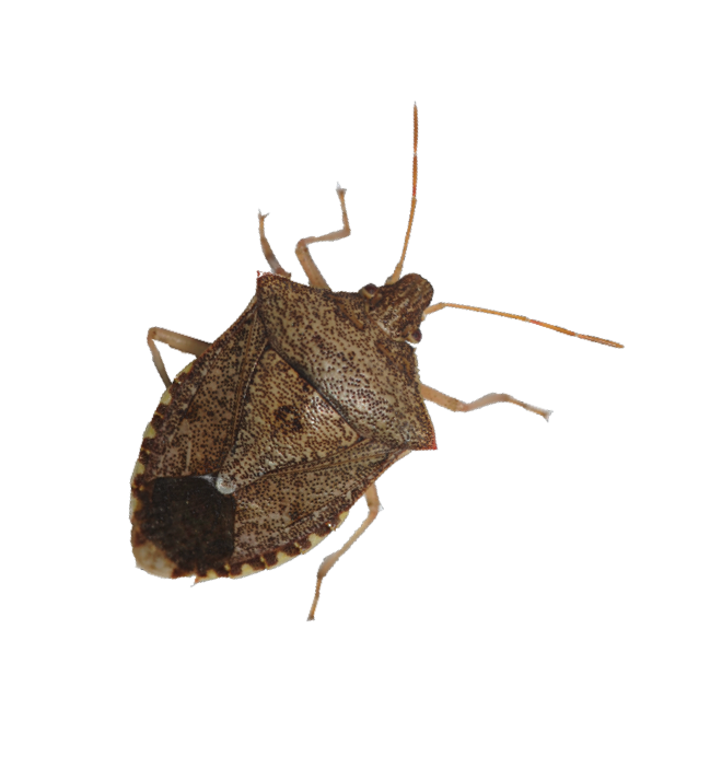graphic royalty free library Check Wheat and Corn for Stink Bugs