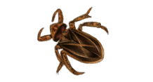png transparent stock Water Bug or Roach