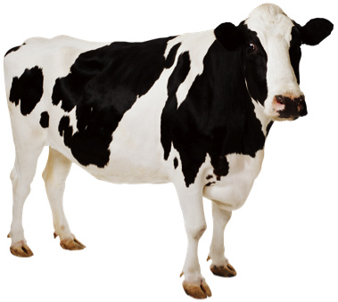 vector freeuse download Cow HD PNG Transparent Cow HD