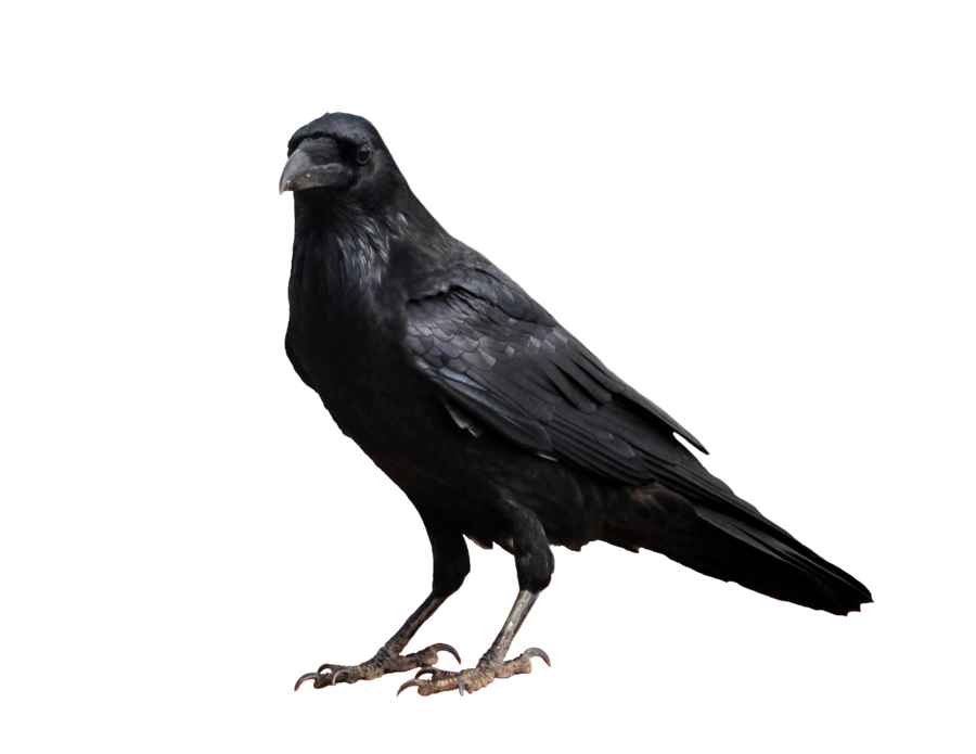 clipart download On a background by. Transparent crow