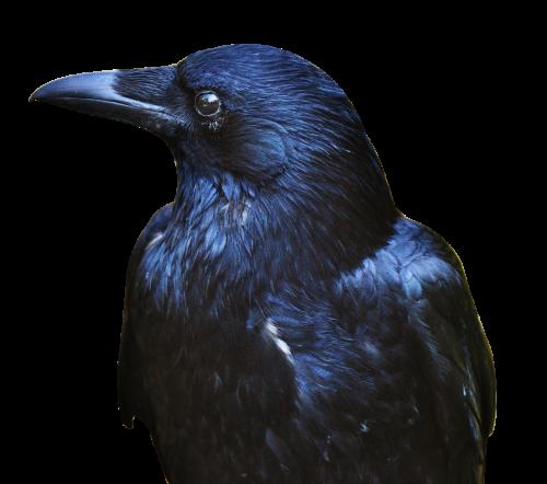 clip library download Png image pngpix. Transparent crow