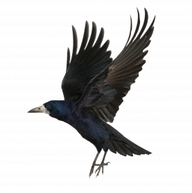 svg library library Png images free download. Transparent crow