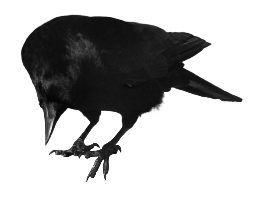 graphic transparent library transparent crow curious #105509715