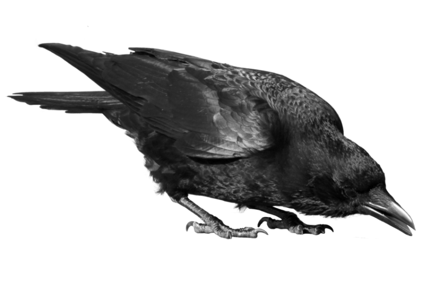 image royalty free stock Crow png