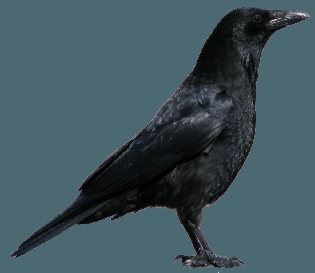 jpg library transparent crow high resolution #105513411