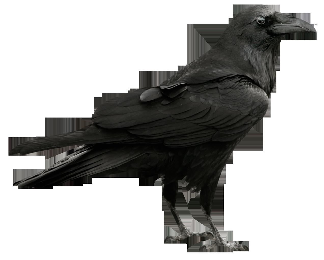 svg transparent stock Transparent crow raven. Png picture design d