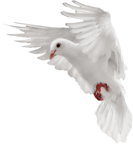 clip royalty free download transparent dove bird #105611647