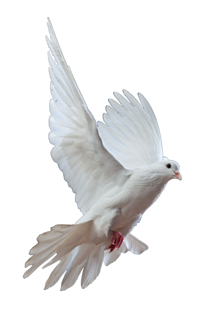clip transparent Dove by Christawashere on DeviantArt