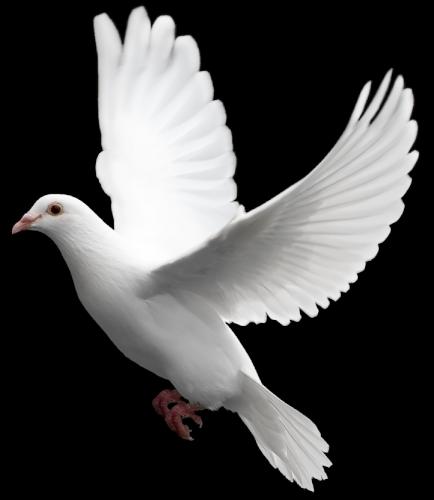 clipart transparent White Dove Six