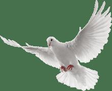 svg download transparent dove white #105602841