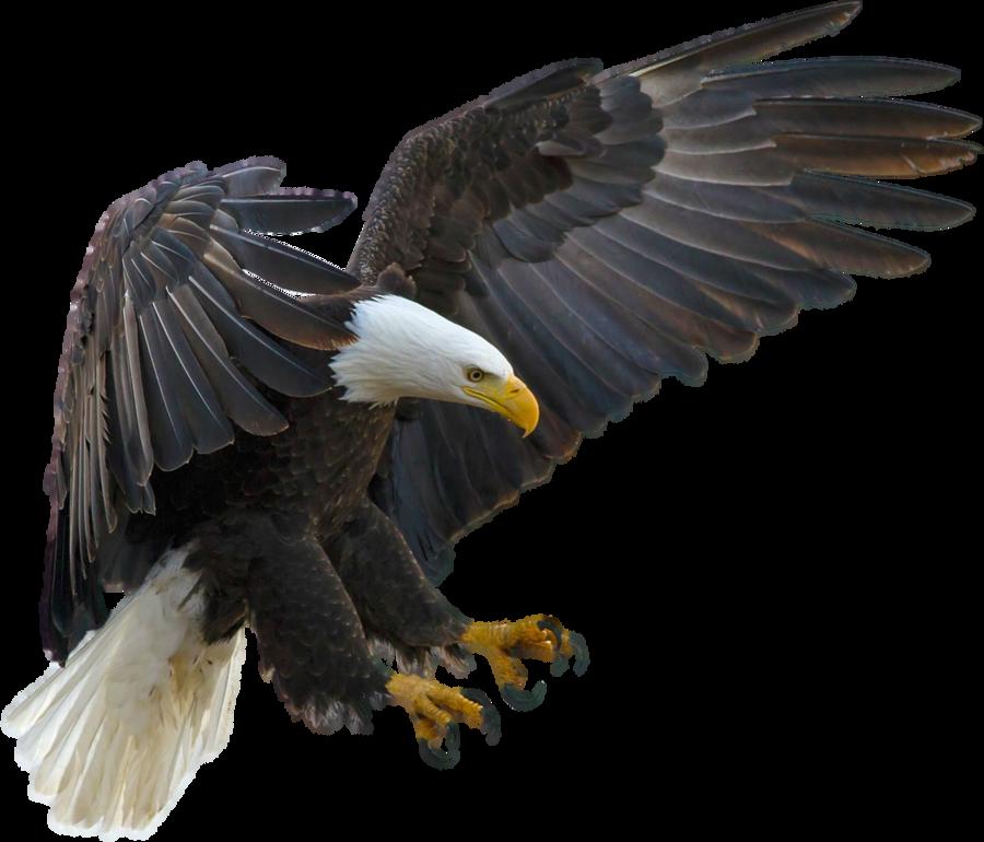 svg transparent library American eagle on a transparent background