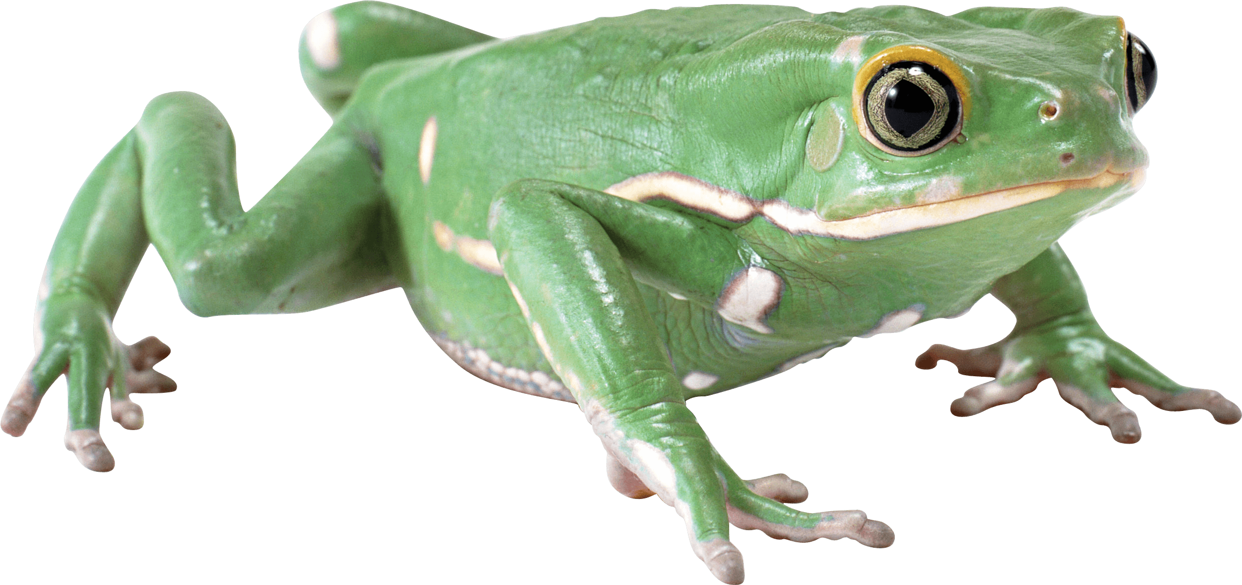 png library Frogs transparent PNG images