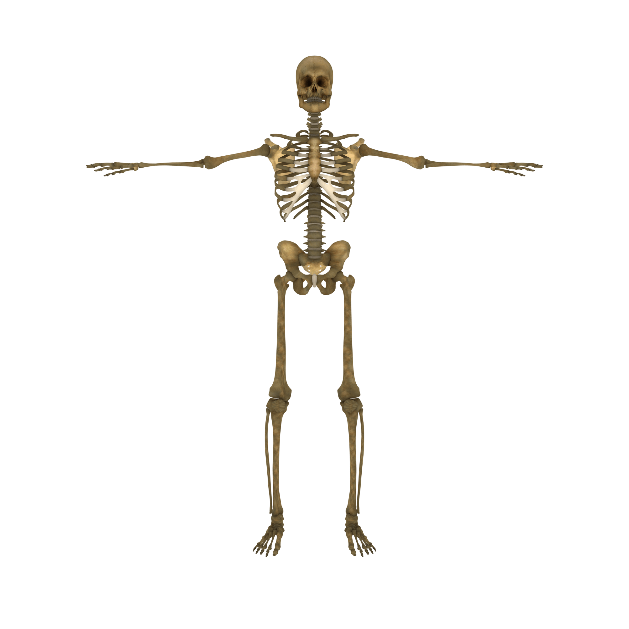 png library Subscribe alpha tauri d. Bones transparent clear background