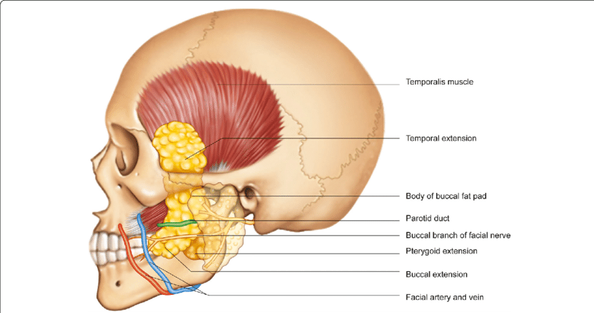 vector free download Anatomical location of the buccal fat pad