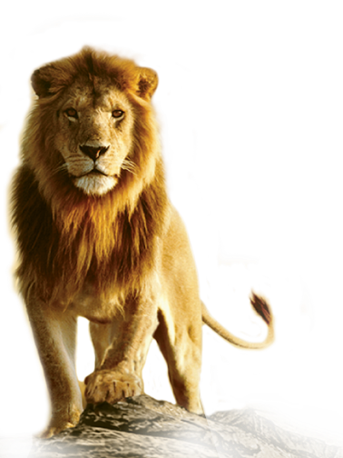 clipart download Transparent lion. Collection of free download