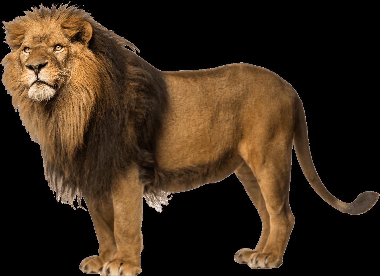 jpg freeuse Left looking png stickpng. Transparent lion